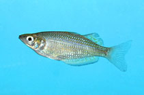 Image of Melanotaenia rubrostriata (Red-striped rainbowfish)
