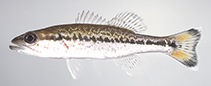 Image of Micropterus punctulatus (Spotted bass)