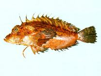 Image of Minous versicolor (Plumstriped stingfish)