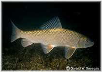 Image of Moxostoma erythrurum (Golden redhorse)