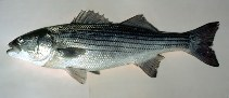 Image of Morone saxatilis (Striped bass)