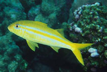 Image of Mulloidichthys dentatus (Mexican goatfish)