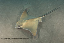 Image of Myliobatis aquila (Common eagle ray)
