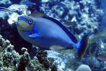 Image of Naso vlamingii (Bignose unicornfish)