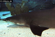 Image of Negaprion brevirostris (Lemon shark)