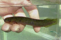 Image of Neochanna diversus (Black mudfish)