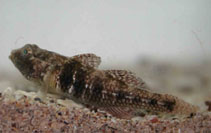 Image of Nesogobius greeni