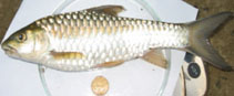 Image of Neolissochilus hexagonolepis (Copper mahseer)
