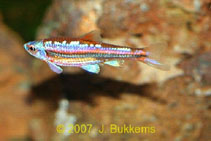 Image of Notropis chrosomus (Rainbow shiner)