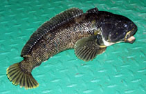 Image of Notothenia coriiceps (Black rockcod)