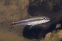 Image of Nocomis micropogon (River chub)