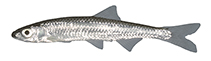 Image of Notropis photogenis (Silver shiner)