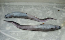 Image of Notacanthus sexspinis (Spiny-back eel)