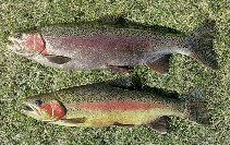 Image of Oncorhynchus mykiss (Rainbow trout)