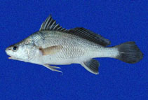 Image of Ophioscion typicus (Point-nosed croaker)
