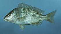 Image of Orthopristis chrysoptera (Pigfish)