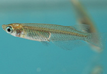Image of Oryzias latipes (Japanese rice fish)