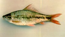 Image of Osteochilus microcephalus