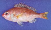 Image of Parascolopsis aspinosa (Smooth dwarf monocle bream)