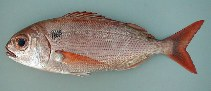 Image of Pagellus bogaraveo (Blackspot seabream)