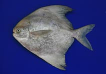 Image of Pampus chinensis (Chinese silver pomfret)