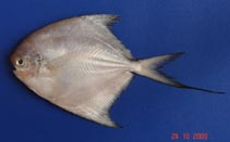 Image of Pampus minor (Southern lesser pomfret)