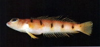 Image of Parapercis macrophthalma (Narrow barred grubfish)
