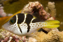 Image of Paraluteres prionurus (False puffer)