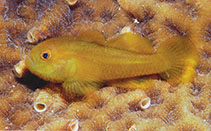 Image of Paragobiodon xanthosoma (Emerald coral goby)