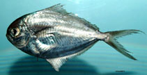 Image of Peprilus burti (Gulf butterfish)