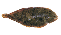 Image of Pegusa impar (Adriatic sole)