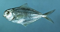 Image of Peprilus triacanthus (Atlantic butterfish)
