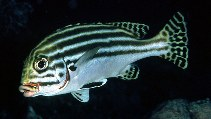 Image of Plectorhinchus diagrammus (Striped sweetlips)