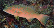 Image of Plectropomus maculatus (Spotted coralgrouper)