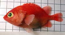 Image of Plectrypops retrospinis (Cardinal soldierfish)