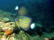 Image of Pomacanthus annularis (Bluering angelfish)