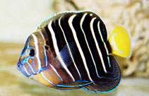 Image of Pomacanthus chrysurus (Goldtail angelfish)