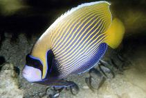 Image of Pomacanthus imperator (Emperor angelfish)