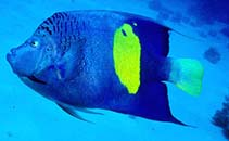 Image of Pomacanthus maculosus (Yellowbar angelfish)