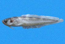 Image of Porichthys oculellus (Smalleye midshipman)