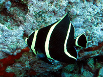 Image of Pomacanthus paru (French angelfish)