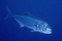 Image of Pomatomus saltatrix (Bluefish)