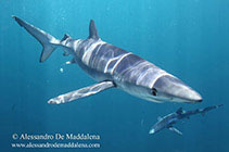 Image of Prionace glauca (Blue shark)