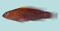 Image of Pseudochromis andamanensis (Andaman dottyback)