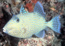 Image of Pseudobalistes fuscus (Yellow-spotted triggerfish)