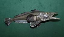 Image of Pseudochaenichthys georgianus (South Georgia icefish)