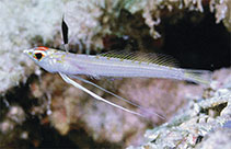 Image of Pteropsaron longipinnis (Midwater sand-diver)