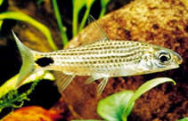 Image of Systomus asoka (Asoka barb)
