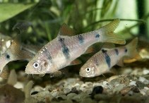 Image of Barbodes everetti (Clown barb)