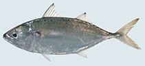 Image of Rastrelliger brachysoma (Short mackerel)